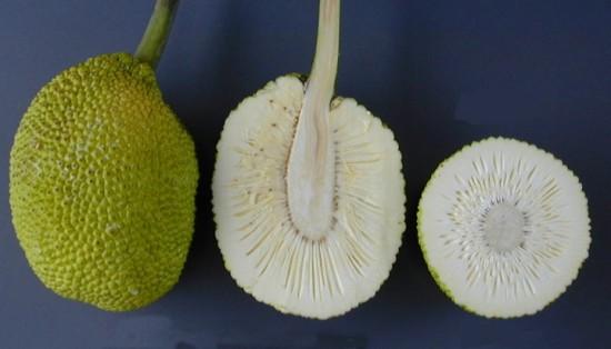 Xa kê - sa kê - cây bánh mì - Artocarpus altilis