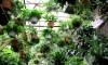 cây cảnh đẹp,thường xuân,dương xỉ,thiết mộc lan,cây dây nhện,ngũ gia bì,cọ cảnh,vạn niên thanh,lan ý,lưỡi hổ,hoa cúc,hoa cúc đồng tiền,11 cây cảnh đẹp làm sạch không khí
