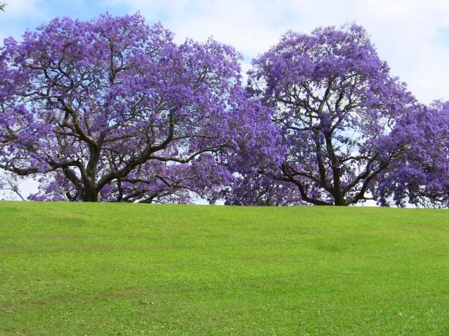 phượng tím,hoa phượng tím,cay phuong tim,cây phượng,phượng,hoa phượng,hoa học trò,acaranda mimosifolia,Jacaranda acutifolia,cây ngoại thất