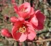 Mộc qua,cây mộc qua,chi mộc qua,Chaenomeles,họ hoa hồng,Rosaceae,Chi Mộc qua (Chaenomeles)