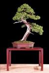 bonsai châu âu,bonsai đẹp châu âu,bon sai châu âu,triển lãm,Châu Âu,bonsai,thế cây,cây cảnh đẹp,Bonsai châu Âu - Những tác phẩm đỉnh cao ( Phần 1 )