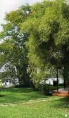 Cây xanh,phong thủy,cây xanh theo phong thủy,cây cảnh,hoa cảnh,bonsai,kiến trúc nhà cửa,Bố trí cây xanh hài hòa phong thuỷ