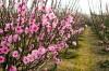 cây cảnh,hoa cảnh,cây cầu an,cây hoa đào,cây liễu,cây bách,cây bạch quả,cây ngải cứu,cây hồ lô,cây thù du,7 loài cây cầu an nên trồng
