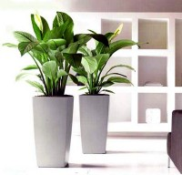 phong thủy,cây phong thủy,cây trong nhà,cây nội thất,cây cảnh,hoa cảnh,Bí quyết chọn và đặt cây cảnh trong nhà