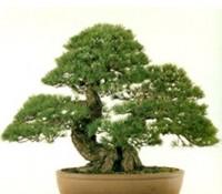 Thế cây,dáng cây,cây cảnh,thập toàn,cây cảnh cổ,bonsai,Dáng thế thập toàn cây cảnh cổ