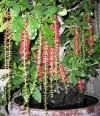 lộc vừng,chăm sóc cây cảnh,kỹ thuật trồng cây,sanh,sung,tùng,lộc,Tạo rễ buông và rải vụ hoa cho lộc vừng