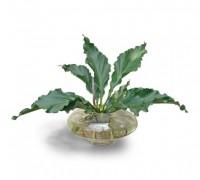 Cây đại đế,cay dai de,trầu bà lá xoắn,trau ba la xoan,trầu bà,Anthurium plowmanii,họ ráy,Araceae,Đại đế