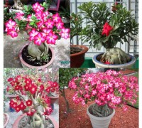 Cây sứ sa mạc,cây sứ thái,sứ thái lan,su sa mac,su thai lan,Adenium obesum,Adenium,Apocynaceae,Sứ sa mạc