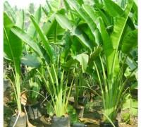 chuối cảnh,chuoi canh,chuối cảnh đỏ,chuối sen,chuối hoa,cây chuối,Musaceae,Musa,banana,Chuối cảnh