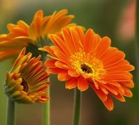 Cúc đồng tiền,hoa cúc,cúc,hoa đồng tiền,hoa dong tien,hoa ngày Tết,cây ngày Tết,Asteraceae,Gerbera L,Cúc đồng tiền