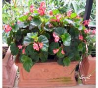 Thu hải đường,thu hải đường lá phong,Begonia,Begoniaceae,hoa Kim Chính Nhật,cây hoa đẹp,Thu hải đường