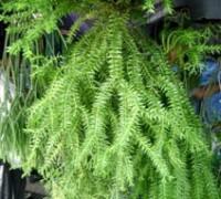 Râu rồng,rau rong,cây râu rồng,cay rau rong,râu tây,họ thông đất,Lycopodiaceae,Lycopodium phleginaria L,Râu rồng