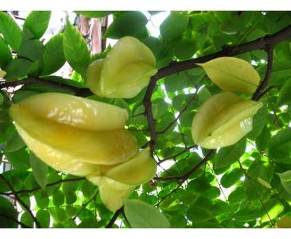 Khế,cây khế,cay khe,khe,Oxalidaceae,Khế