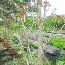 Sứ đại hoa đỏ