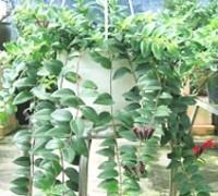 Cây Son Môi,Kim Ngư,cây Môi Son,lan Môi Son,lan Son Môi,cây Hoa Son Môi,Aeschynanthus lobbiana,Lipstick Plant,họ Tai Voi,Gesneriaceae,Son môi