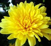 Hoa cúc vàng,Hoa cúc vàng