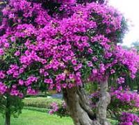 Hoa giấy,cây hoa giấy,cây bông giấy,bông giấy,Bougainvillea spectabilis willd,Bougainvillea,Hoa giấy