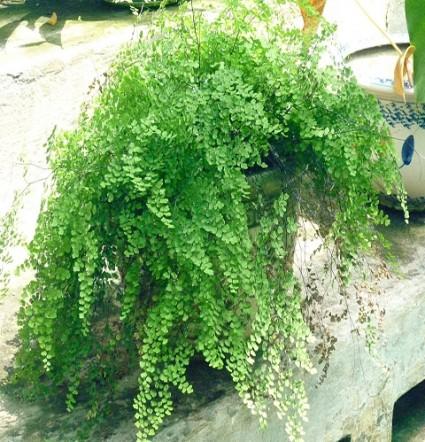 Tóc thần,tóc thần vệ nữ,toc than ve nu,Adiantum caudatum,maiden hair,trailing maidenhair,nguyệt xỉ,Adiantaceae,dương xỉ,Tóc thần