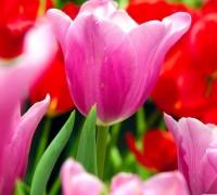 Hoa Tulip,uất kim hương,uất kim cương,Tulipa,Liliaceae,hoa Hà Lan,Hoa Tulip - Uất kim hương