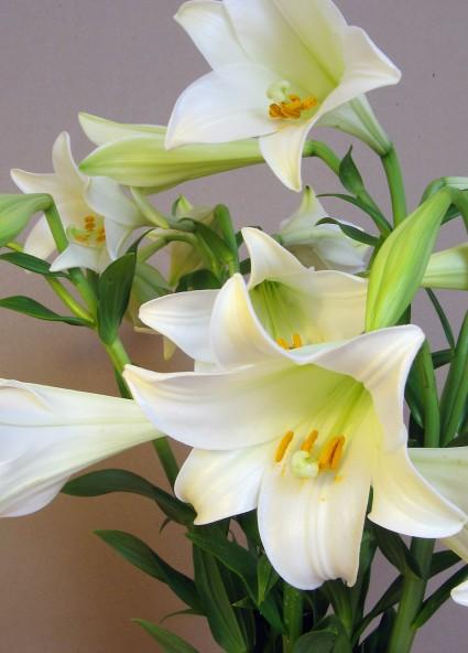 Hoa loa kèn,huệ tây,hoa huệ tây,hoa bách hợp,ý nghĩa hoa loa kèn,truyền thuyết hoa loa kèn,Lilium longiflorum,Lilium,Hoa loa kèn