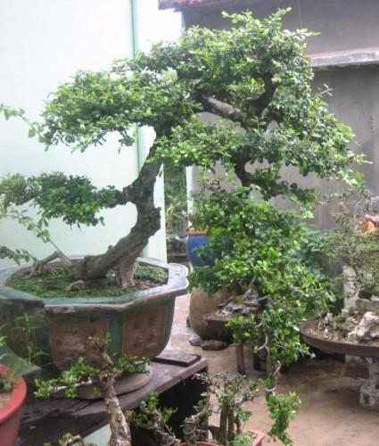 Cần thăng,cây cần thăng,cay can thang,Feoniella lucida,cây bonsai,Cần thăng