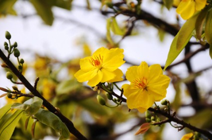 Hoa mai,cây mai,cành mai,hoa mai ngày Tết,sự tích hoa mai,sự tích hoa mai ngày Tết,Tết,Tết Nguyên Đán,Hoa mai