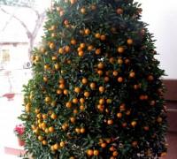 Cây quất,kim quất,cây Tắc,cây Hạnh,cây ngày Tết,quất cảnh,Citrus japonica 'Japonica',Cây quất