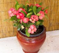 Xương rồng bát tiên,xương rắn,xương rồng tàu,ý nghĩa của xương rồng bát tiên,cách trồng xương rồng bát tiên,cây ngày Tết,cây may mắn,Euphorbia milii,họ đại kích,Euphorbiaceae,Siamese lucky Plant,Xương rồng bát tiên