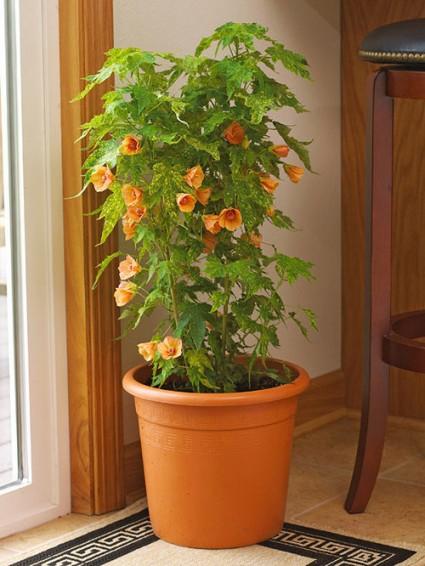 Cây hoa gỗ thích,Cây hoa gỗ thích