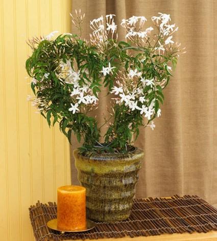 Hoa nhài,hoa lài,sự tích hoa nhài,công dụng y học của hoa nhài,nhài thái,nhài nhật,Hoa nhài
