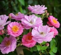 Tầm xuân,hoa tầm xuân,hoa ngày tết,ý nghĩa hoa tầm xuân,sự tích hoa tầm xuân,chuyện kể về hoa tầm xuân,nụ tầm xuân,bài thuốc chữa bệnh từ tầm xuân,cây tỉ muội,tác dụng của tầm xuân,Rosa canina L,Tầm xuân