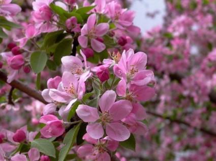 Hoa anh đào,Quốc hoa Nhật Bản,Hoa anh đào