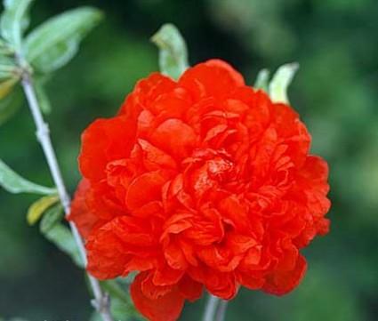 lựu hạnh,cây thừu lựu,cây hoa lựu, thạch lựu, lựu kép,Hoa lựu hạnh