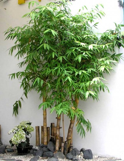 Cây tre,bộ Hòa thảo,phân họ Tre,tông Tre,Bambuseae,bamboo,cây phong thủy,cây ngoại thất,cây ngày Tết,tác dụng của cây tre,Cây tre