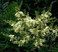Cây hòe,hoa hòe,cây ngày tết,Styphnolobium japonicum,Sophora japonica,ý nghĩa của hoa hòe,tác dụng của hoa hòe,họ đậu,Fabaceae,Cây hòe