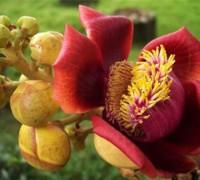 Ngọc kỳ lân,cây sala,Sa La,sala,cay sala,cây ngọc kỳ lân,cay ngoc ky lan,cây đầu lân,cây hàm rồng,Couroupita guianensis,Cây Sala (Ngọc kỳ lân, đầu lân)