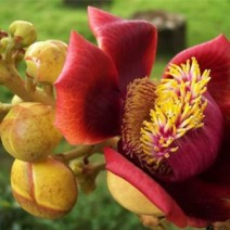 Cây Sala (Ngọc kỳ lân, đầu lân)