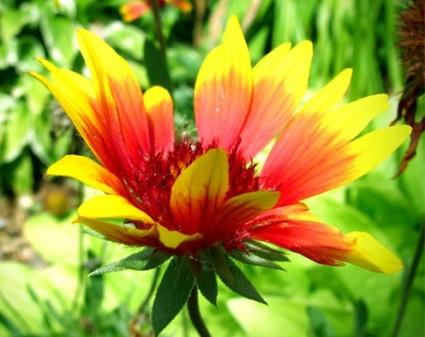 Cây hoa mật,Cây hoa Mật