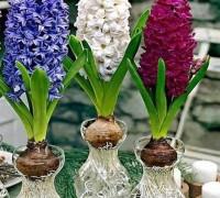 Hoa tiên ông,hoa ông tiên,hoa dạ lan hương,dạ lan hương,lan dạ hương,hoa dạ hương,dạ hương,cây tiên ông,cay tien ong,hoa ngày Tết,cây ngày Tết,Hyacinthaceae,Liliaceae,Asparagales,ý nghĩa hoa dạ lan hương,truyền thuyết hoa dạ lan hương,Hoa tiên ông - Dạ lan hương