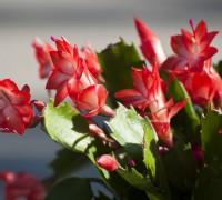 Hoa càng cua,hoa nhật quỳnh,hoa tiểu quỳnh,lan huỳnh,lan càng cua,Zygocactus truncatus (Hax) Moran,Christmas Cactus,Hoa càng cua (hoa Nhật quỳnh)
