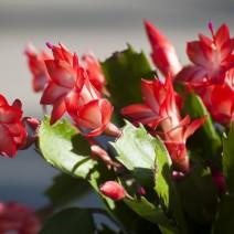 Hoa càng cua (hoa Nhật quỳnh)