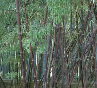 Trúc đen,Bambouseraie de Prafrance,Phyllostachys nigra,Trúc đen