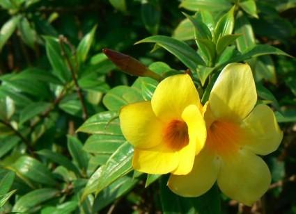 hoa huỳnh anh,hoàng anh,dây huỳnh, dây công chúa,Allamanda cathartica L,hoa cảnh,cây cảnh,Hoa huỳnh anh