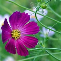Hoa cúc sao nháy (hoa cánh bướm,hoa chuồn chuồn)