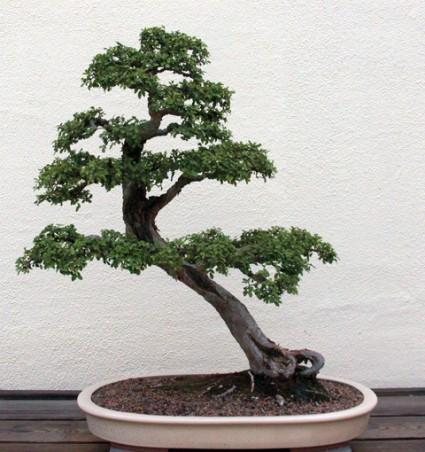 Cây Du,cây cảnh đẹp,bonsai,hoa cảnh,Ulmaceae,Cannabaceae,Cây Du
