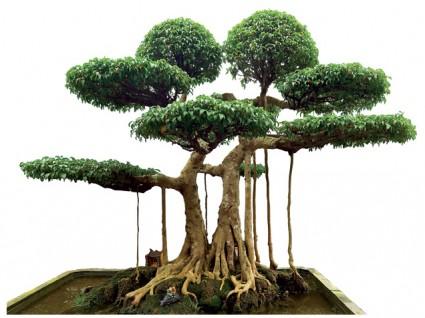 Cây sanh,cây Si,cây sanh mâm xôi con gà,cây sanh 120 tỉ,cây sanh 14 tỉ,Ngô Đình Cẩn,Ngô Đình Sự,cây bonsai,cây cảnh đẹp,Ficus benjamina L,họ Dâu tằm,Cây Sanh