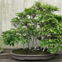 Cây Sồi trắng Nhật Bản