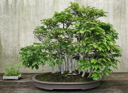 cây sồi trắng Nhật Bản,Cây sồi,cay soi,bonsai,cay canh,Fagus Crenata,Nhật Bản,Cây Sồi trắng Nhật Bản