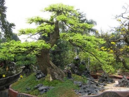 Cây Me,cay me,bonsai,cay ngoai that,Tamarindus indica,Tamarindus,Cây Me