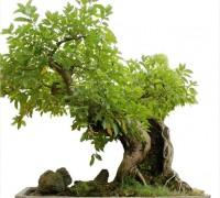 Cây sung,ưu đàm thụ,tụ quả dong,ficus racemosa,ficus,ficus glomerata,udumbara,họ dâu tằm,moraceae,bonsai,cây sung bonsai,cay canh dep,Cây sung